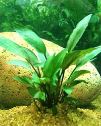 Криптокорина Пётча (Cryptocoryne petchii)